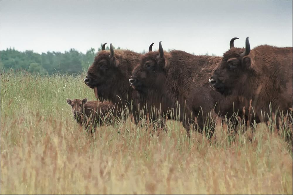 Erster Wisent-Nachwuchs (geboren am 11.06.1996) im Wildpark Schorfheide (landkreis Barnim).