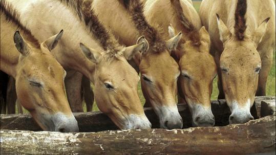Przewalski-Pferde im Wildpark Schorfheide bei Grofl Schˆnebeck (Landkreis Barnim).