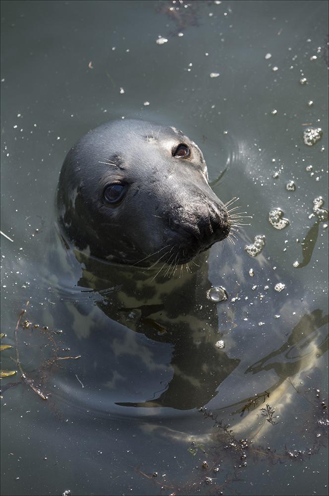 Seit über 20 Jahren kommt die Kegelrobbe Willi (Halichoerus grypus) fast täglich in das Hafenbecken von Hörnum auf der Nordseeinsel Sylt (Landkreis Nordfriesland), um sich von Touristen mit Heringen füttern zu lassen. Die Robbe wiegt etwa 200 Kilogramm. Eigentlich ist Willi aber eine Robbendame.