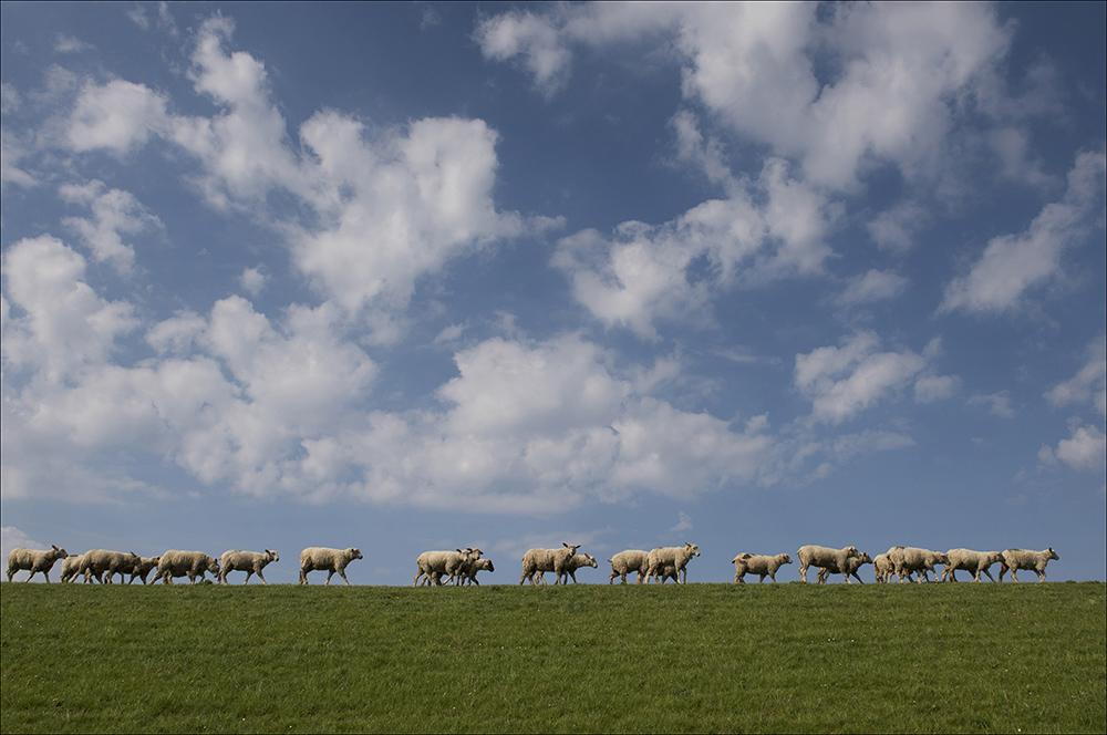 Schafe beweiden den Schutzdeich in Archsum auf der Nordseeinsel Sylt (Landkreis Nordfriesland).