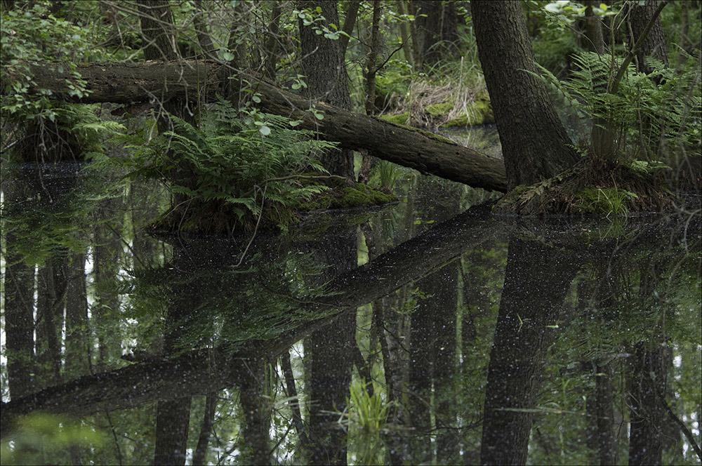 Auenwald bei den Fischteichen bei Drehna, dem westlichsten Ortsteil der Gemeinde Boxberg (Landkreis Görlitz) im Biosphärenreservat Oberlausitzer Heide- und Teichlandschaft.