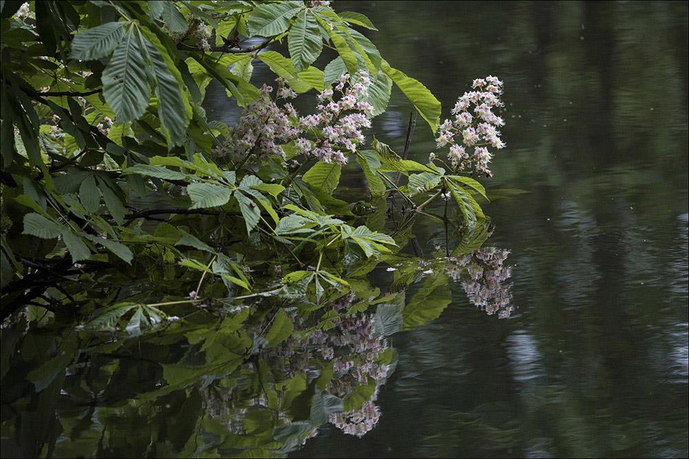 Ein blühender Kastanienbaum spiegelt sich im Wasser eines Fischteiches im Teichgebiet bei Wartha an der B 96 bei Hoyerswerda (Landkreis Bautzen) im Biosphärenreservat Oberlausitzer Heide- und Teichlandschaft.