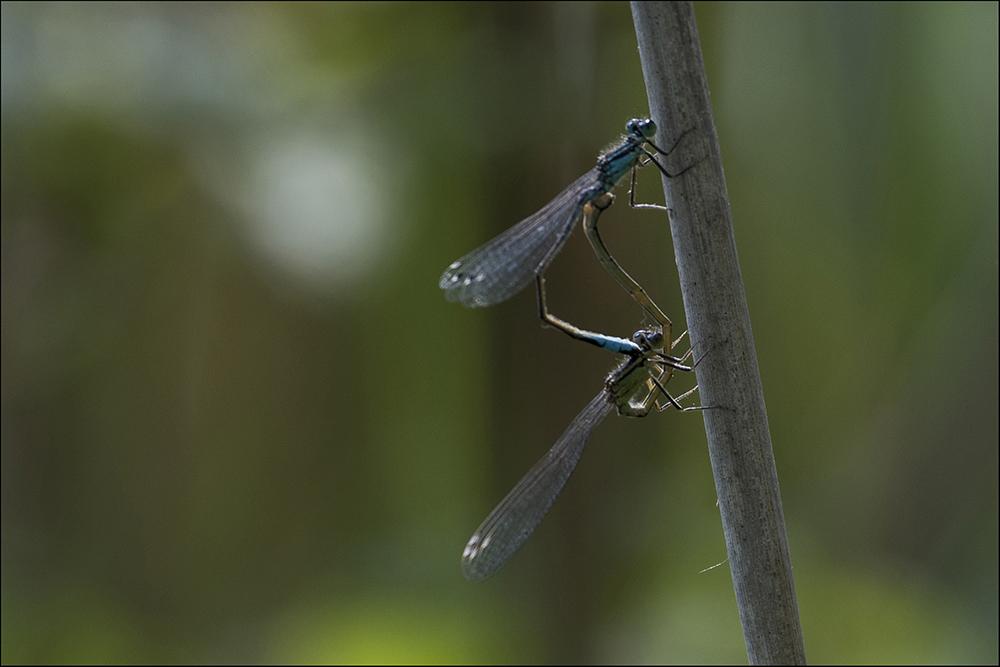 Zwei Libellen an einem Halm an einem Fischteich bei Commerau (Landkreis Bautzen) in der Oberlausitz im Biosphärenreservat Oberlausitzer Heide- und Teichlandschaft. Die beiden ausgewachsenen Libellen finden sich im Flug, wobei nach einem Vorspiel das Männchen das Weibchen mit der Zange aus den beiden Hinterleibsanhängen am Hinterkopf (Großlibellen) bzw. am Prothorax (Kleinlibellen) ergreift. Die daraus entstandene Paarungskette wird auch als Tandemstellung bezeichnet. Danach biegt sich das Weibchen im Flug nach vorn und berührt mit seiner Geschlechtsöffnung am achten oder neunten Hinterleibssegment den Samenbehälter des Männchens am zweiten oder dritten Hinterleibssegment. Dabei entsteht das für Libellen typische Paarungsrad.