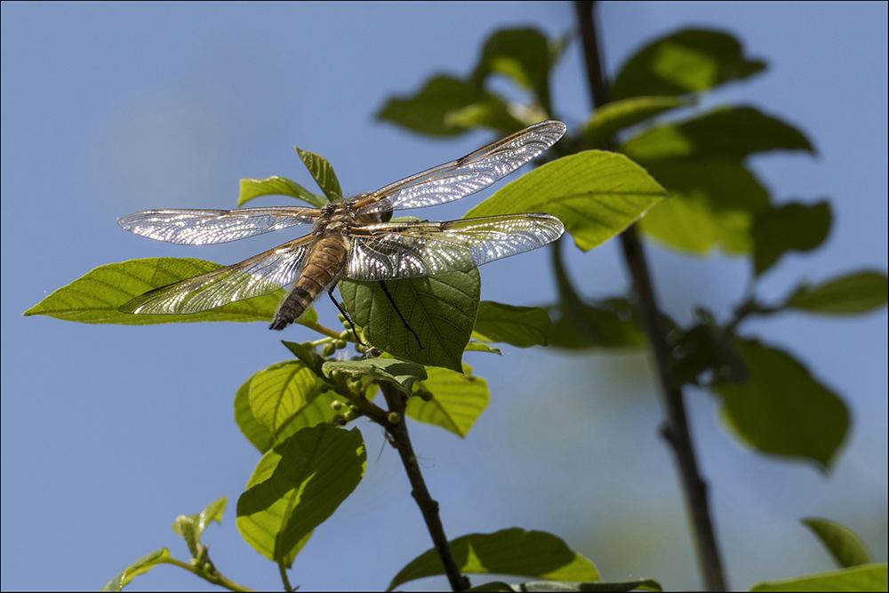 Eine Libelle auf einem Ast am Ufer eines Fischteiches in Commerau (Landkreis Bautzen) in der Oberlausitz.