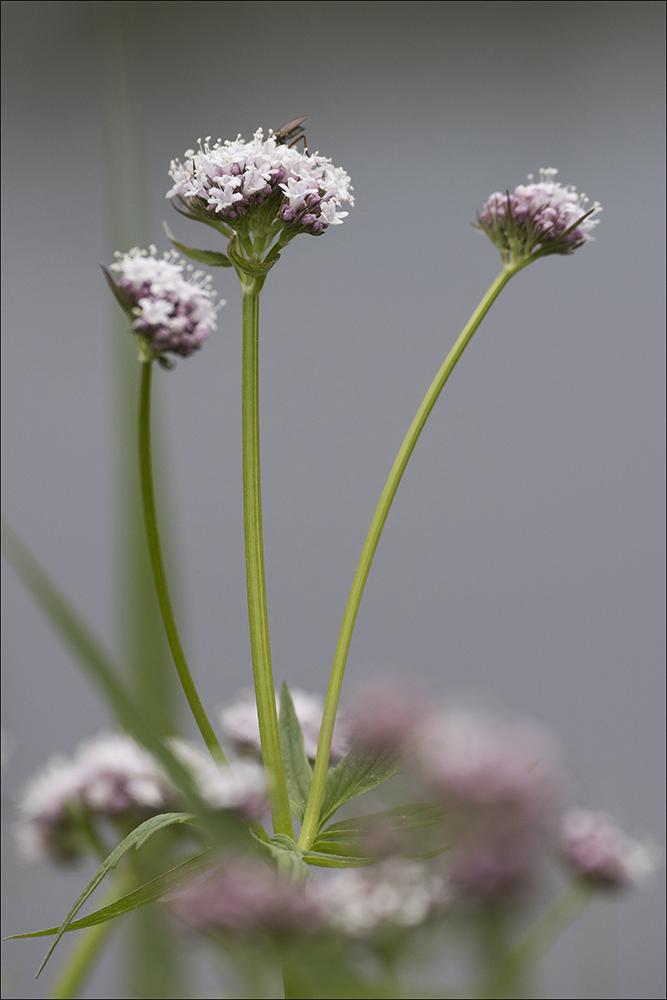 Eine blühende Baldrianpflanze im Teichgebiet bei Wartha an der B 96 bei Hoyerswerda (Landkreis Bautzen) im Biosphärenreservat Oberlausitzer Heide- und Teichlandschaft.