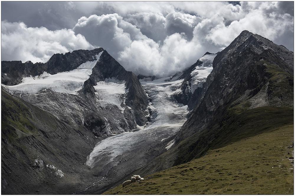 Schafe auf der Hohe-Mut-Alm (2650 Meter) über Obergurgl im UNESCO-Biosphärenpark Gurgler Kamm in den Ötztaler Alpen in Tirol, Österreich. Im Hintergrund der Gaisbergferner (Gletscher) und die Gipfel Hochfirst (3403 Meter), Kirchenkogel (3280 Meter) und Liebener Spitze (3399 Meter).