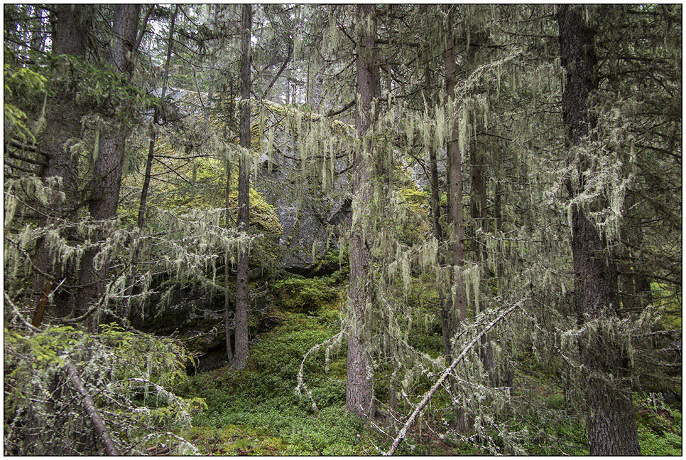 Flechten an den Bäumen bei Regen im Wald auf dem Tauferberg (1700 Meter) bei Niederthai in den Ötztaler Alpen in Tirol, Österreich.