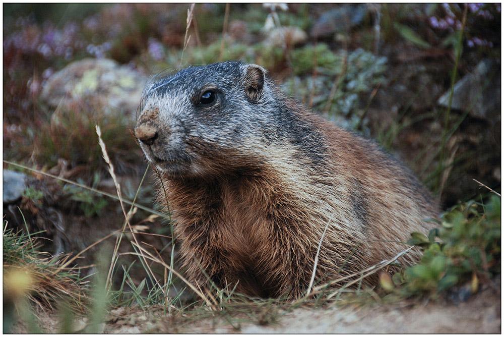 Das Alpenmurmeltier (Marmota marmota) kommt in den Alpen, Karpaten und der Hohen Tatra vor. ie leben in Gruppen bis zu 20 Tieren in einer Höhe oberhalb der Baumgrenze, bisweilen bis 3000 Meter. Das nach dem Biber größte europäische Nagetier hält sechs bis sieben Monate Winterschlaf.
