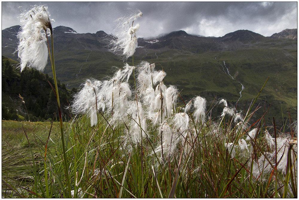 """Wollgras im Rotmoostal oberhalb von Obergurgl im UNESCO-Biosphärenpark Gurgler Kamm in den Ötztaler Alpen in Tirol, Österreich. Wollgräser (Eriophorum) sind eine Pflanzengattung innerhalb der Familie der Sauergrasgewächse (Cyperaceae). Die Arten besiedeln vorwiegend Moorstandorte. Die langen Blütenhüllfäden der Früchte bilden den bezeichnenden weißen bis orangefarbenen Wollschopf der Wollgräser. Die aspektprägenden """"Wattebäusche"""" zeigen die Pflanzen also nicht, wie landläufig oft angenommen wird, in ihrem blühenden, sondern im bereits fruchtenden Zustand."""