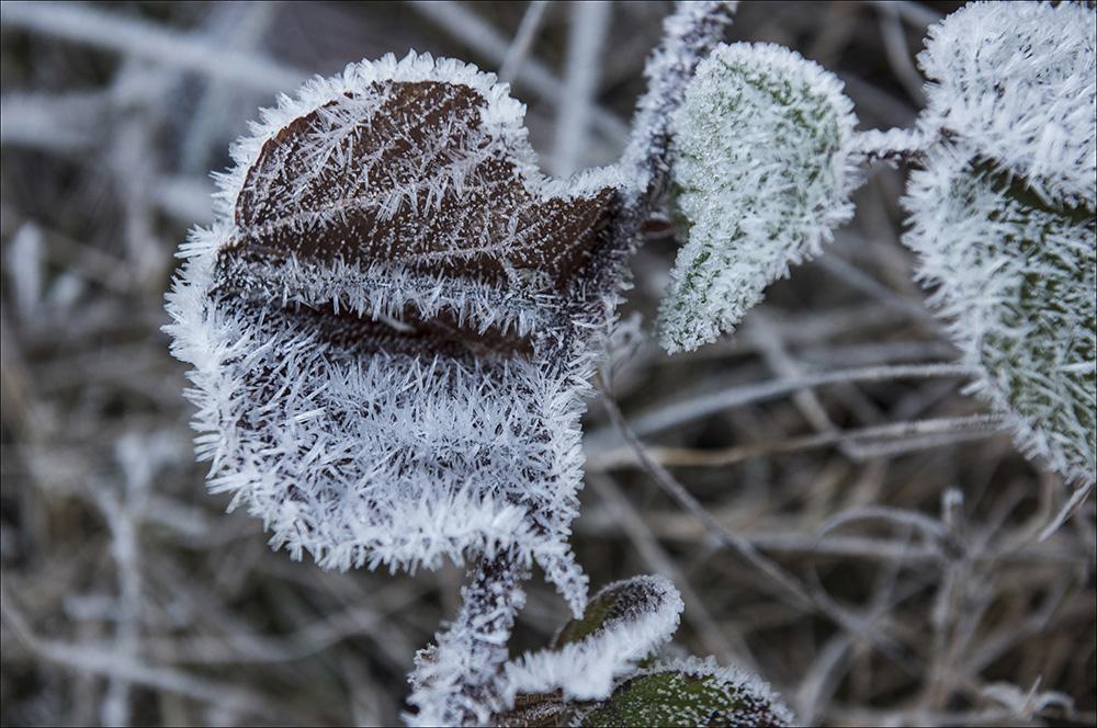 Mit Eiskristallen dicht besetzt sind die Blätter der Sträucher und Bäume am Brocken im Nationalpark Harz.